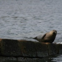 Brough Harbour seal.jpg